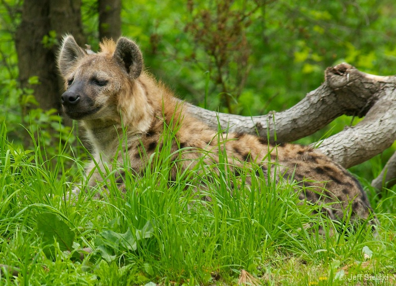 Who's There???   Spotted Hyena