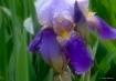 Dewy Purple