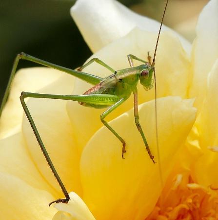 Backyard Bugs #2 (Jr. Katydid)