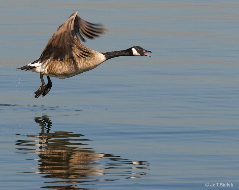 Say Good Morning!! Canada Goose In Flight