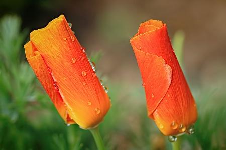 Orange Duet