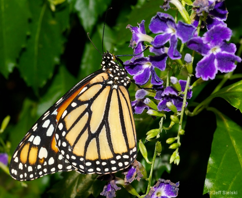 Enjoying This Flower!!  Monarch Butterfly
