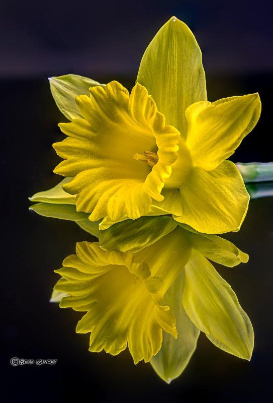Daffodil Reflections