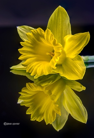 Daffodil Reflections