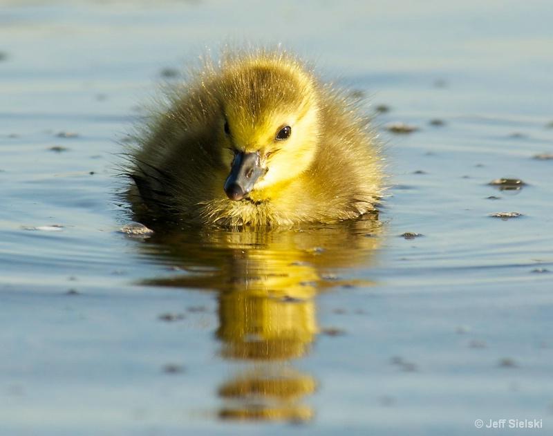 Cruising Along!!!  Baby Gosling Swimming