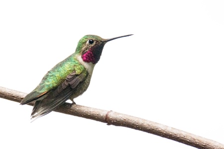 Hummingbird on Mother's Day