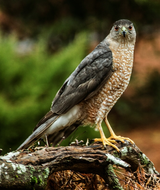 Coopers Hawk of Atlanta 2015  - ID: 14898590 © Beatrice Yoder-Leyba