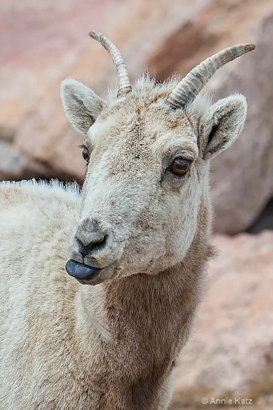 sassy sheep - ID: 14898713 © Annie Katz
