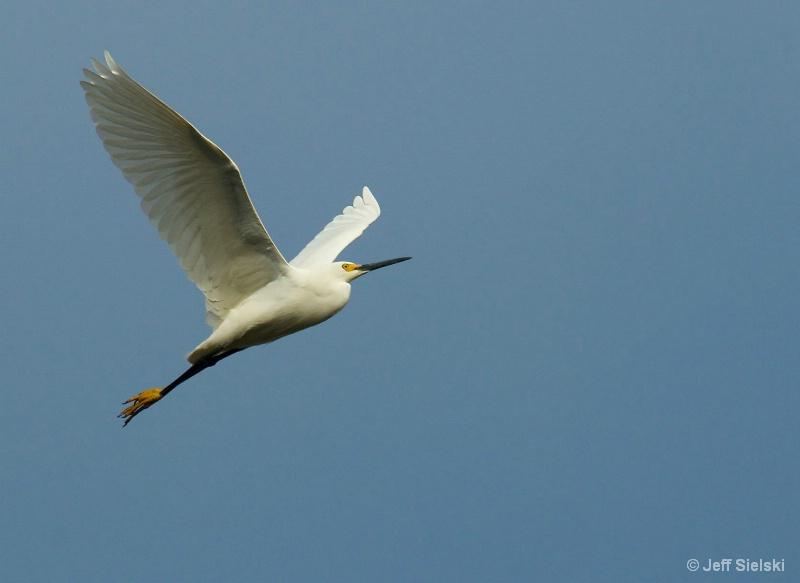 Up In The Sky!!!!   Egret In Flight