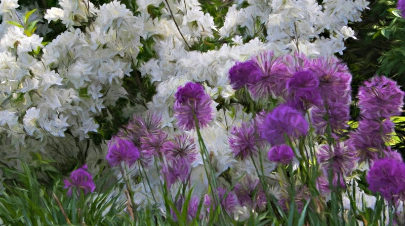 Clouds of White Azaleas and Masses of Purple Allia
