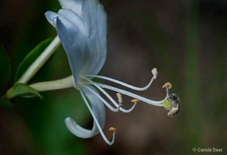 Wild Honeysuckle and Baby Bee