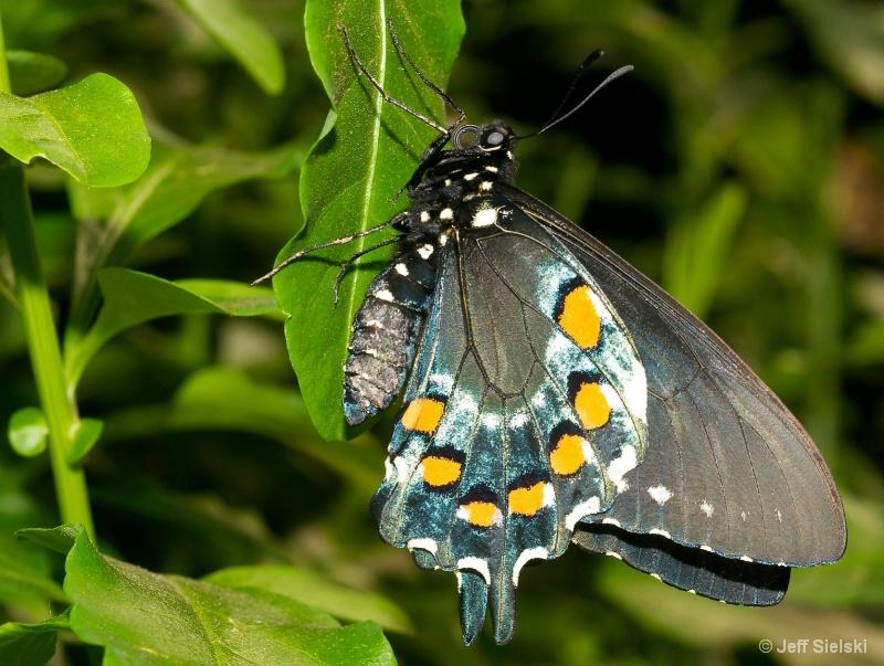 Just Hangin Around!!  Spicebush Swallowtail