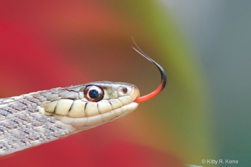 Snake Tongue - ID: 14900142 © Kitty R. Kono