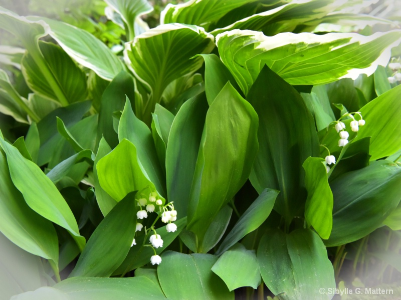 Lily-of-the-valley(Convallaria majalis) with Hosta - ID: 14900236 © Sibylle G. Mattern