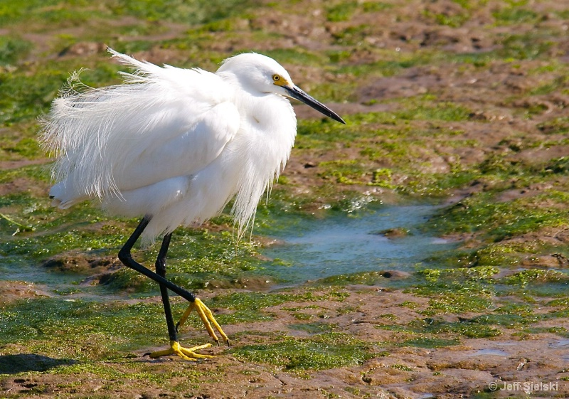 Taking A Morning Stroll!!  Snowy Egret