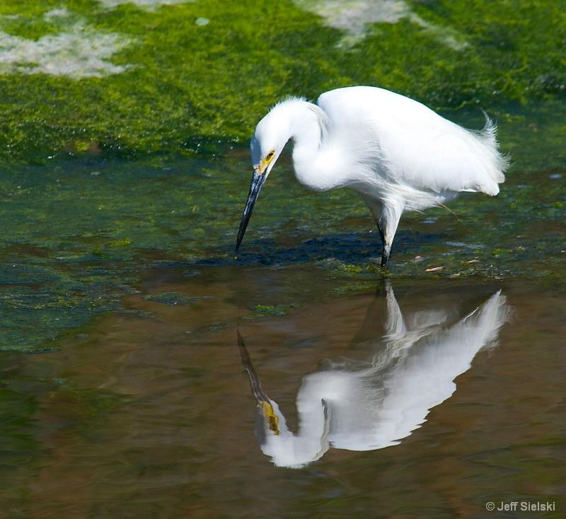 I See Myself!!!    Snowy Egret