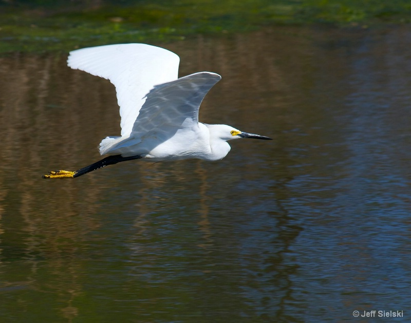 Morning Flight!!  Snowy Egret In Flight