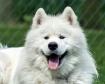 Samoyed Puppy at ...