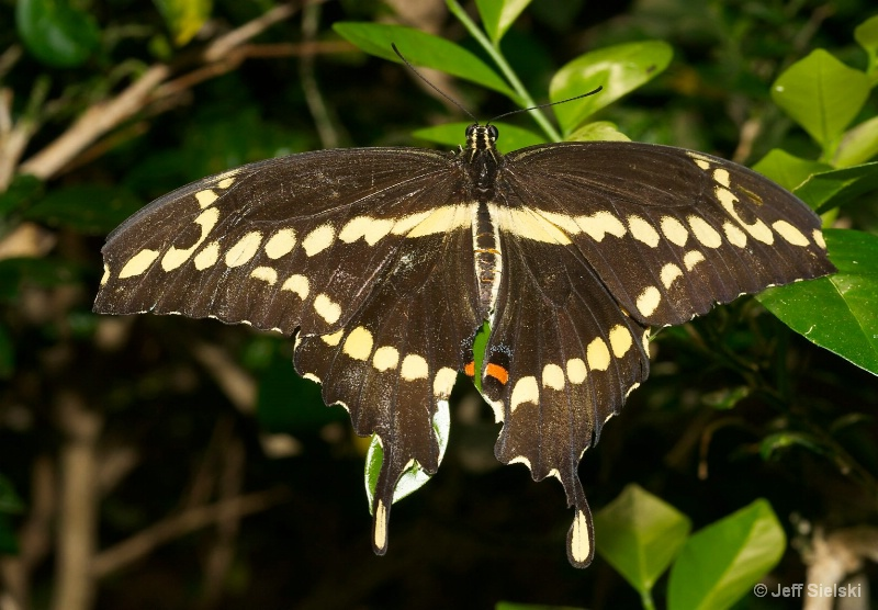 My Resting Spot!!  Giant Swallowtail