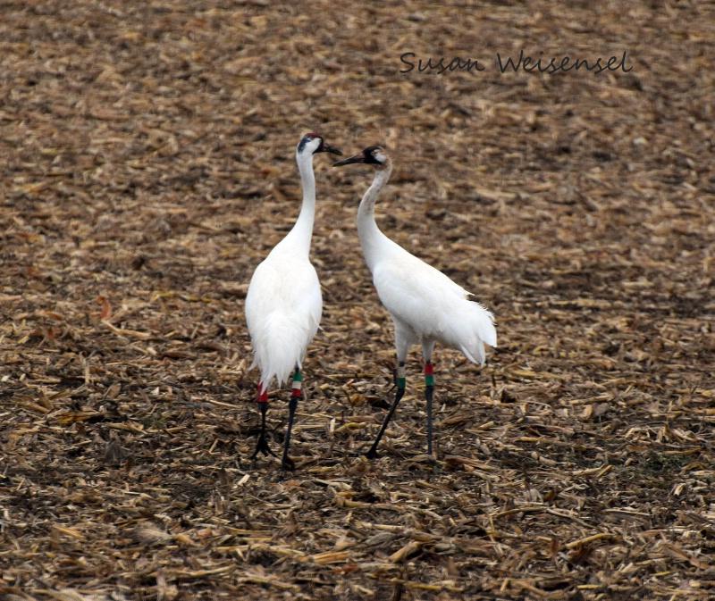 Whoop, Whoop-ing Cranes