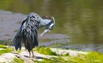 Preening Is Good! Yellow Crowned Night Heron