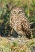 Burrowing Owl on ...