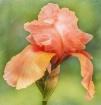 Frilly Orange Mai...