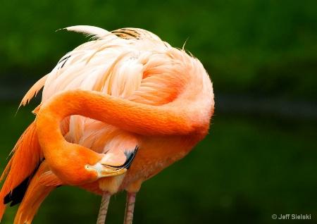 I Can Reach!!  Flamingo Preening Himself