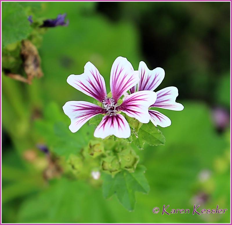 Pelargonium Elegans