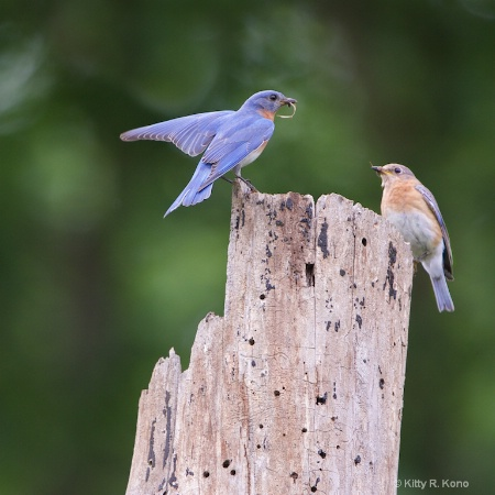 Bluebird Couple Bringing Home the Groceries