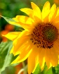 Sunflower in the ...