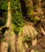 Redwood Close Up