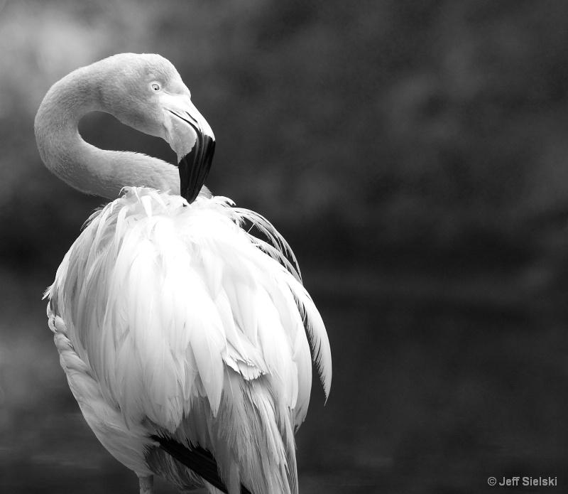 Posing For The Camera!!  Flamingo