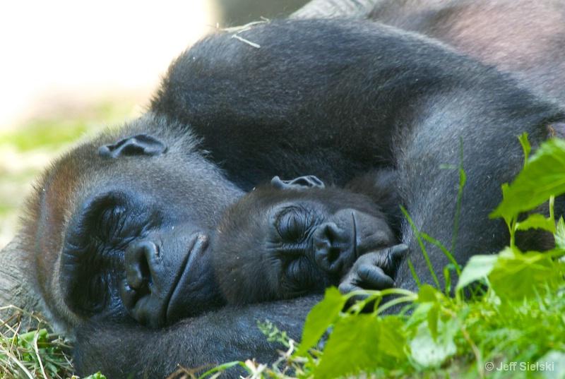 Nap Time!! Lowland Lowland Gorilla & Baby