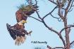 Bald Eagle Coming...