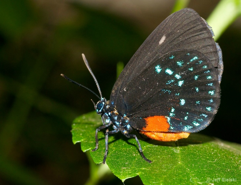Posing For You!!   Atala Butterfly