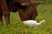 Cattle Egret With...