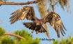 Juvenile Eagle Le...