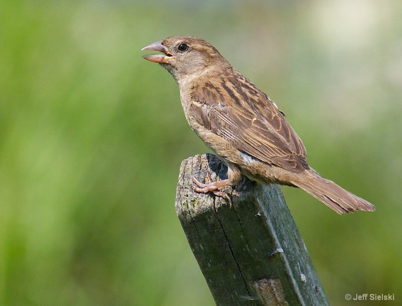 Sing Me A Song!!  Brown Sparrow