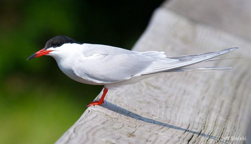 Rest Stop!!!!   Common Tern