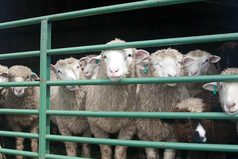 Sheep  - ID: 14921702 © Sandra M. Shenk