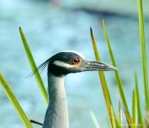 YEL-Crowned Night Heron
