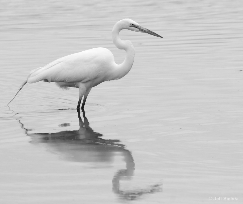 Wading In The Water!!  B&W Great Egret