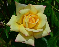 "----------""My Yellow Rose""----------"