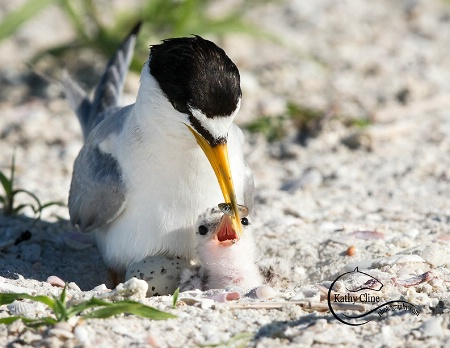 Least Tern Egg and Chick