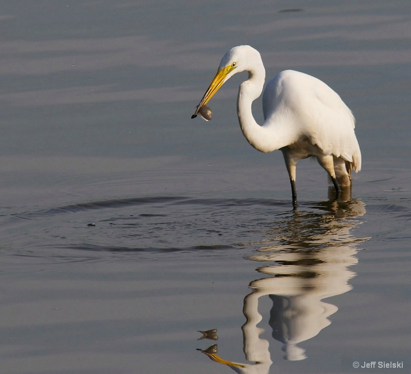 Breakfast Time!! Great Egret with Fish
