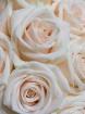 Creamy Roses
