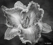 Black and White Painted Lily