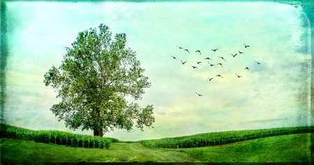 Sycamore Tree in Corn Field