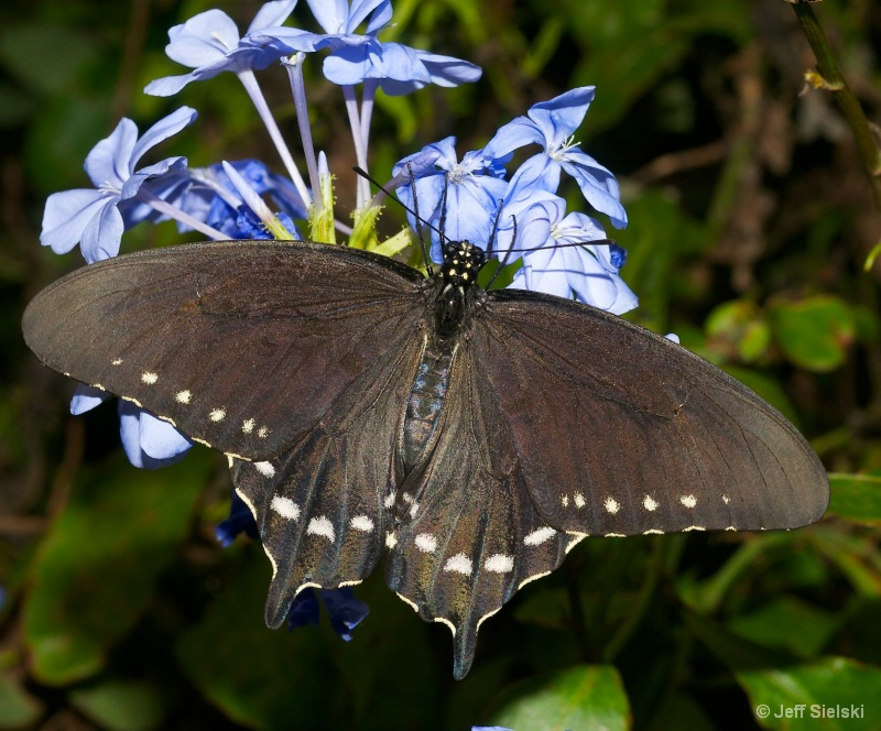 I Love My Blue Flowers! Swallowtail Butterfly